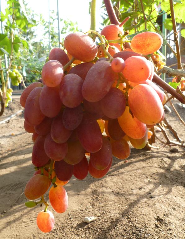 происходящее этих виноград виктор описание сорта фото отзывы искать породу
